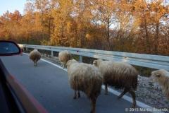 ovce na silnici v Albánii