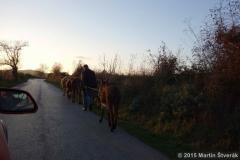 osel a krávy na cestě