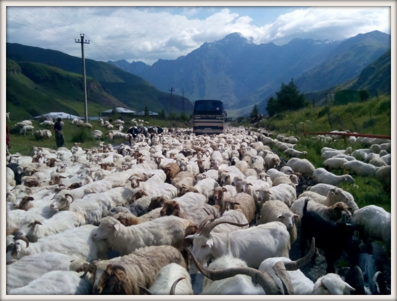 stádo ovcí na cestě v Gruzii