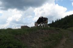 volně pasoucí se krávy