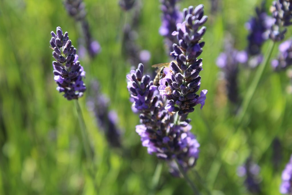 lavender-1533167_1920